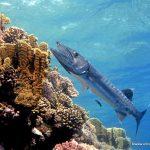 Barracuda gigante Animales peligrosos para los buceadores