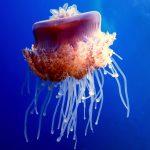 Medusa. Animales potencialmente peligrosos para los buceadores
