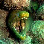 Morena verde Animales peligrosos para los buceadores