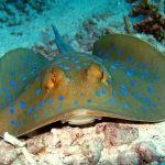 Raya puntos azules Animales potencialmente peligrosos para los buceadores