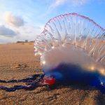 Carabela portuguesa. Animales potencialmente peligrosos para los buceadores