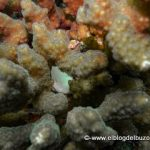 Pez sapo blanco Mar de Cortes golfo de california
