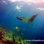 free diving with mantas. mar de cortes