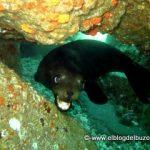 Lobo marino cachorro actitud defensiva.