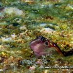 Blenny golfo de california