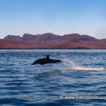 delfin saltando golfo de california