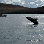ballena saltando en mar de cortes.