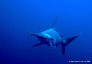 Hammerhead shark. Malapascua