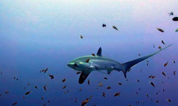 Tiburon azotador Malapascua
