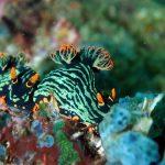 Nudibranquio de Malapascua