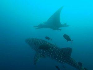Whale Shar y mante en Isla Socorro