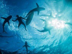 Tiburones en Revillagigedo. Isla Socorro