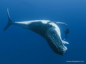 Ballenas en Revillagigedo