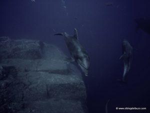Delfin mular en Cabo Pierce. Isla Socorro