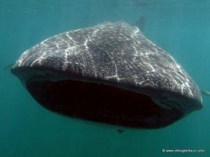 Tiburon ballenas Roca Partida