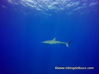 Tiburón sedoso de Revillagigedo.
