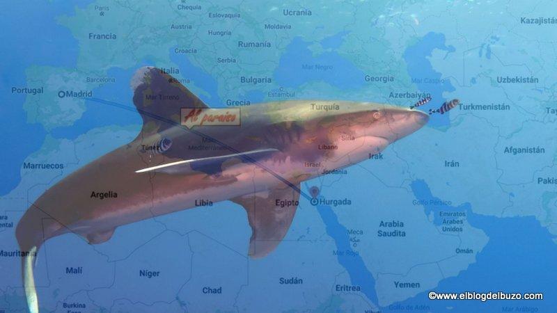 Mar Rojo. El mejor destino de buceo con tiburones cerca de Europa.