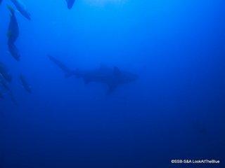Buceo con tiburones en Cabo Pulmo