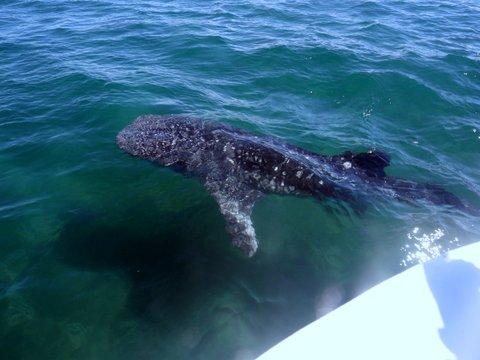 Avistamiento tiburon ballena Holbox