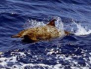 Delfin cuello de botella