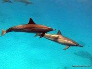 Delfines en Sataya, Mar Rojo