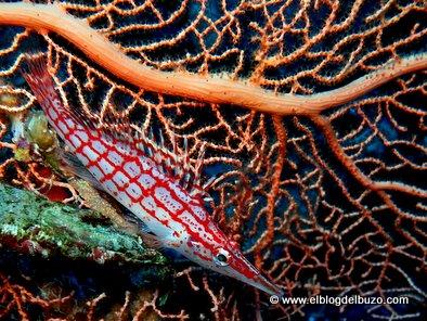 Pez halcón narigudo fotografiado en Panorama Reef. Ruta Brothers Safaga.