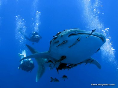 Tiburón ballena del mar rojo