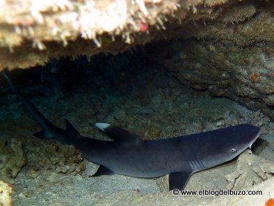 Tiburón puntas blancas. Mar rojo