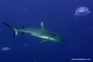 Tiburones del Mar Rojo. Tiburón gris