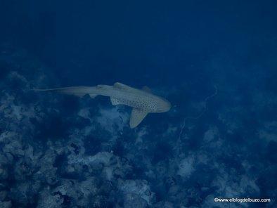 Tiburón leopardo en el Mar Rojo