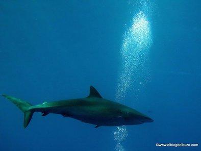 Tiburones del mar rojo. Tiburón sedoso