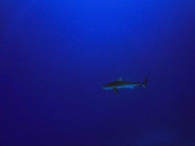 Tiger Shark en el Mar Rojo