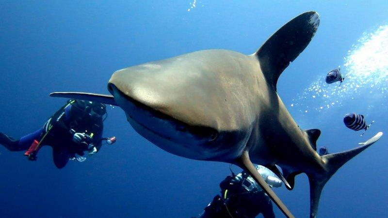 Especies de tiburon del Mar Rojo