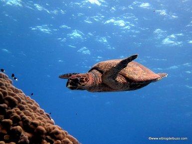 Tortuga Hawksbill Mar rojo